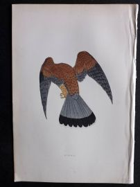 Morris 1897 Antique Hand Col Bird Print. Kestrel